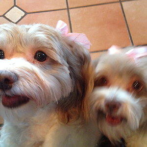 Roy Hockman, with LAH Commercial Real Estate, loves his two Havanese dogs.